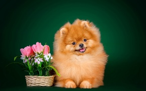 Picture flowers, background, dog, fluffy, I love it, Spitz