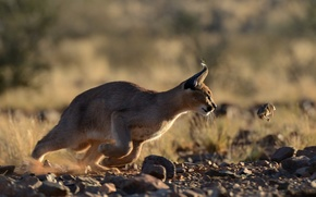 Picture Caracal, mining, steppe lynx, predator, hunter, Caracal