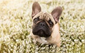 Wallpaper dog, look, flowers, bulldog, face, French bulldog