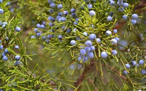 Picture greens, berries, plant, Bush, juniper