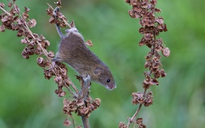 Wallpaper mouse, branch, dry, red, vole, leaves