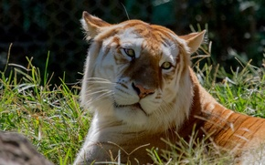 Picture cat, grass, look, face, Golden tiger