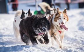 Picture winter, dogs, snow, team, husky