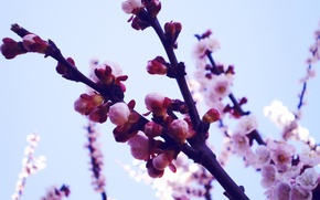 Picture macro, flowers, branches, nature, photo, background, Wallpaper, plants, spring, petals, Sakura, buds