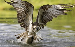 Picture bird, Wallpaper, food, wings, fish, beak, wallpaper, hunting, flight, eagle, caught