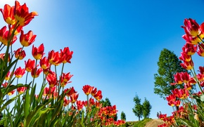 Picture the sky, nature, spring, petals, tulips