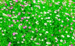 Picture field, grass, flowers, garden, meadow