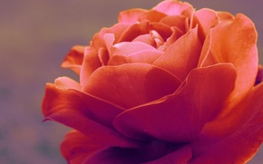 Picture macro, tenderness, rose, flora