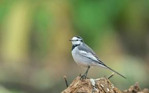Picture background, blur, bird