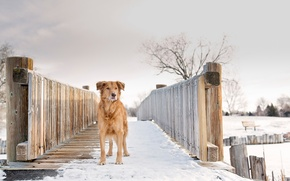 Picture winter, snow, Gold, Silver, red dog