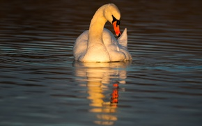 Picture water, the sun, sunset, pose, reflection, bird, the evening, mirror, lighting, Swan, pond, admiring, solo, …