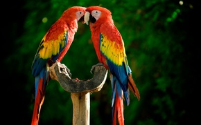 Wallpaper birds, Ara, parrot, bird, bird, parrot
