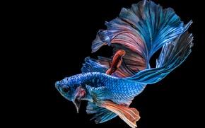 Wallpaper fish, blue, black