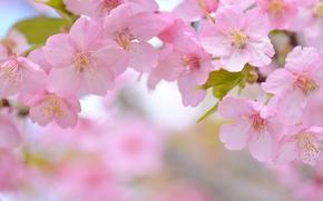 Wallpaper macro, cherry, spring, Sakura, flowering, flowers