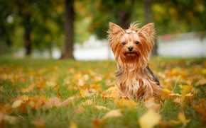 Picture autumn, leaves, dog, York, Yorkshire Terrier