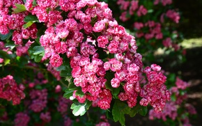 Picture leaves, flowers, branches, spring, Cherry, pink, flowering