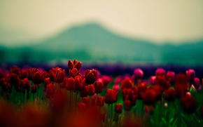 Picture beauty, focus, petals, tulips, red, flowers, widescreen Wallpaper, flowers, beautiful Wallpaper, tulips, flower, macro Wallpaper, ...