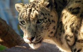 Picture face, IRBIS, snow leopard, is, looks, closely