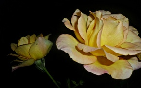 Picture Macro, Flowers, Night, Roses, Yellow, Belarus