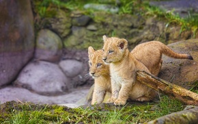 Picture kittens, kids, the cubs, twins
