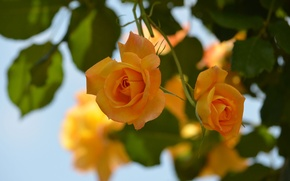Wallpaper macro, roses, bokeh, yellow roses
