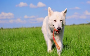 Picture field, dog, the white Swiss shepherd dog, BSO