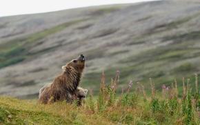 Picture animals, nature, predators, bears, bear, bear