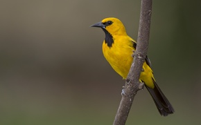 Picture yellow, eyes, bird, branch, the yellow Oriole, wildlife