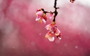 Picture drops, macro, flowers, cherry, rain, focus, branch, blur, Sakura, pink