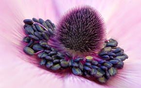 Picture flower, stamens, anthers