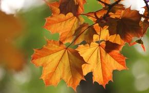 Wallpaper autumn, leaves, Macro, branch, maple