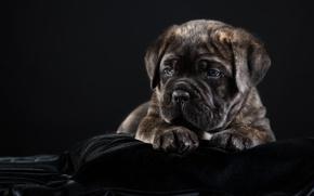 Picture puppy, breed, cane Corso