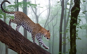 Picture forest, photoshop, branch, leopard