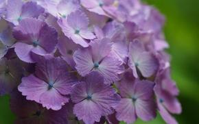 Picture hydrangea, inflorescence, Lilac