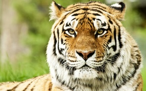 Wallpaper predators, muzzle, Siberian tigers, face, wild cats