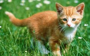 Wallpaper kitty, Grass, red