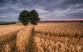 Picture wheat, field, two trees