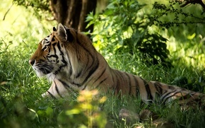 Picture forest, grass, face, tiger, predator