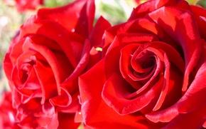 Picture summer, macro, roses, Flowers, . mood