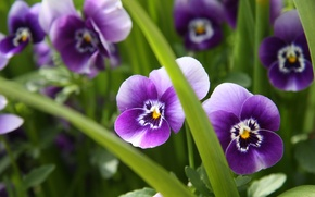 Picture greens, grass, macro, flowers, nature, plants, purple, Pansy