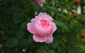 Picture pink, rose, Bush, Bud
