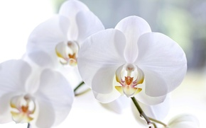 Picture macro, flowers, petals, white, orchids, Phalaenopsis