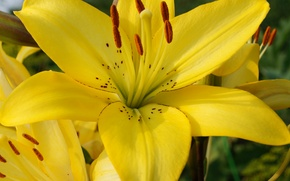 Picture macro, flowers, Lily