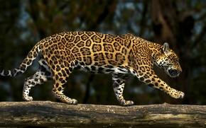 Picture predator, Jaguar, log, wild cat