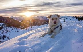 Picture winter, snow, mountains, nature, dog, Austria, Alps, dog, Austria, Alps