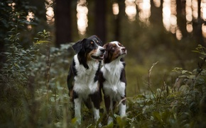 Picture forest, dogs, Australian shepherd, Aussie