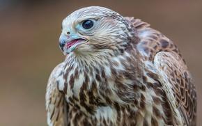 Picture bird, Falcon, The Saker