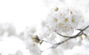 Wallpaper tenderness, macro, flowers, branch, light, flowering, white, color, petals, Sakura, cherry, spring
