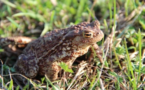 Picture grass, toad, amphibian