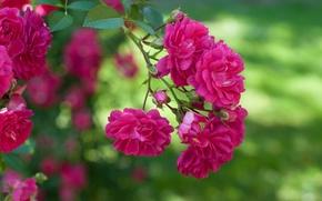 Picture macro, pink, Bush, roses